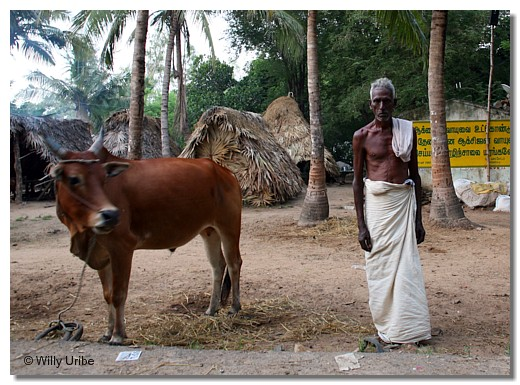 Campesino y buey en Tamil Nadu, India. WU PHOTO © Willy Uribe