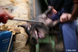 Matanza del cerdo. Euskadi. Spain. Archivo fotográfico de Willy Uribe