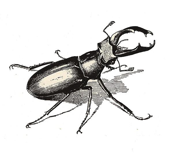 Ciervo volante. Lucanus cervus. Tengo Sitio Libre. Cuaderno digital de Willy Uribe.