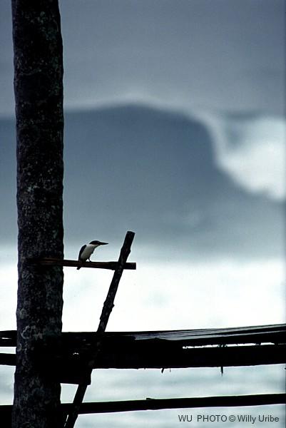 Martín pescador. Alcedo atthis. Nias. Indonesia © WU PHOTO Archivo fotográfico Willy Uribe
