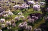 almendros en flor primavera mallorca baleares WU PHOTO archivo fotográfico reportajes Willy Uribe