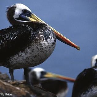 Pelícanos. Chile. WU PHOTO © Willy Uribe Archivo fotográfico Reportajes