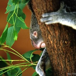 Koala. Queensland. Australia. WU PHOTO © Willy Uribe Archivo fotográfico Reportajes