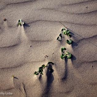 Dunas. Detalle. Asturias. Spain. WU PHOTO © Willy Uribe Archivo fotográfico Reportajes