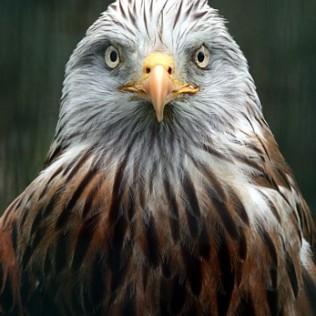 Aguila de cabeza blanca. Bald eagle. Haliaeetus leucocephalus. WU PHOTO © Willy Uribe