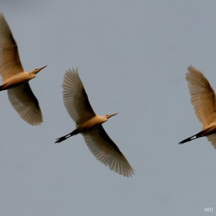 Garzas en vuelo. Golfo de Bengala. India. WU PHOTO © Willy Uribe Archivo fotográfico Reportajes