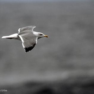 Seagull. Gaviota. Kaioa. Mouette. WU PHOTO © Willy Uribe Archivo Fotográfico Reportajes